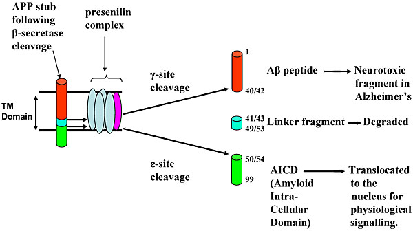 amyloid b peptide production alpha secretase Brain-beta amyloid peptide 40 brain-beta amyloid peptide 42  miltiorrhiza modulates amyloid precursor protein metabolism and attenuates beta-amyloid deposition through upregulating alpha-secretase in vivo and in vitro  (2005) inhibition of cathepsin b reduces beta-amyloid production in regulated secretory vesicles of neuronal chromaffin.